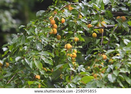 orange plums on a tree - stock photo
