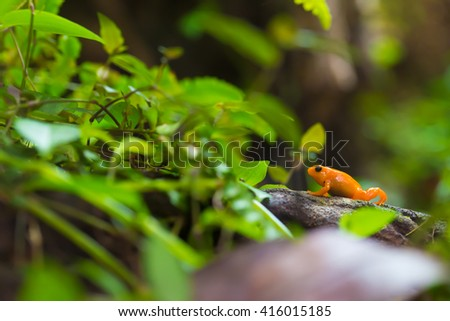 Orange poison dart frog - stock photo