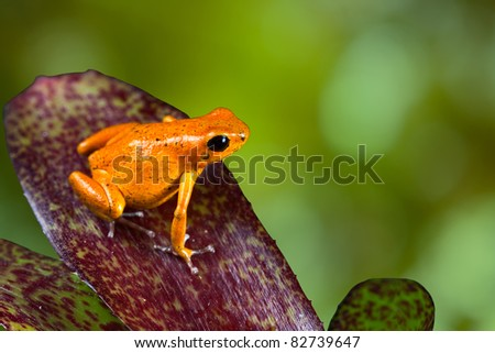 orange poison dart frog sitting on leaf with copy space. Exotic rainforest animal with bright vivid colors. dartfrog  in tropical rain forest. strawberry frog. beautiful amphibian of jungle in Panama - stock photo