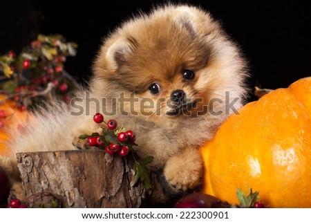 orange pomeranian puppy spitz - stock photo