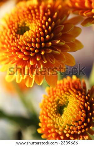 Orange pompon chrysanthemums - small/shallow DOF - stock photo