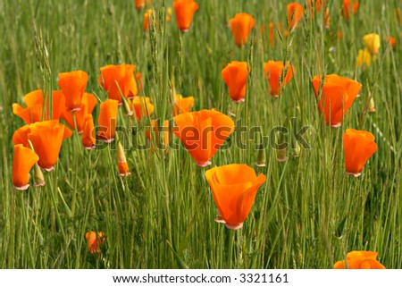 Orange poppies, shallow dof, focus on the center flower. - stock photo