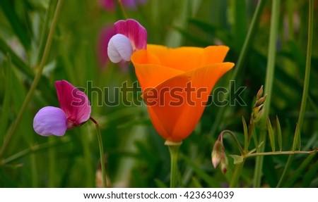 Orange poppy among wildflowers, Eschscholzia californica - stock photo