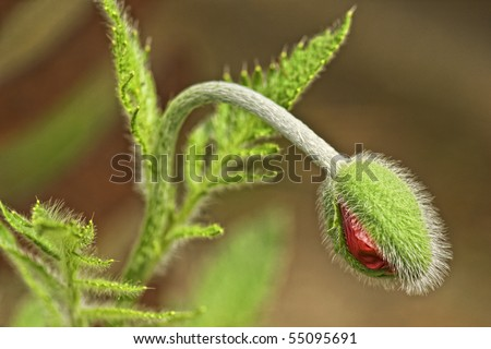 Orange Poppy Bud Ready to Burst - stock photo