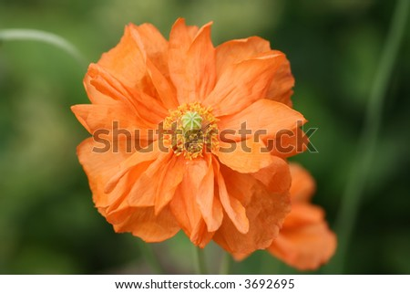 Orange poppy - unusual colour and with a double set of petals - stock photo