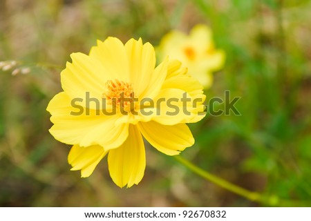 Orange pot marigold - stock photo