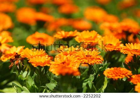 Orange pot marigold (Calendula officinalis) field