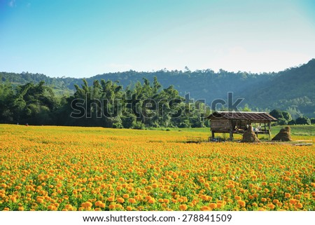 Orange pot marigold (Calendula officinalis) field - stock photo