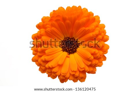 Orange Pot Marigold Flower,Isolated on White. - stock photo