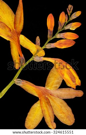 Orange pressed flowers on black background - stock photo