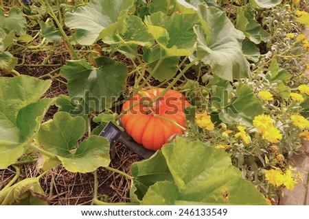 Orange Pumpkin Growing in the Garden at Rosemoor, near Bideford, Devon, England, UK - stock photo