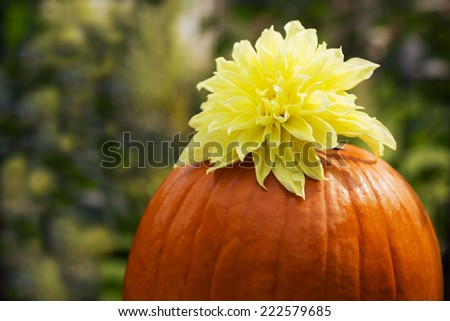 Orange pumpkin with  yellow dahlia flower on green background; with the space for text - stock photo
