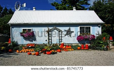 orange pumpkins at harvest time - stock photo