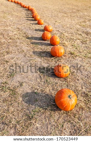 Orange pumpkins in row on ground with dry straw