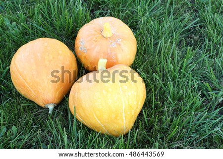 Orange pumpkins on a grass in a garden in the fall