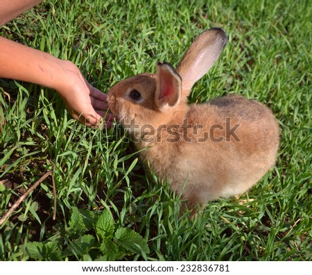 Orange  rabbit feeding with hands on background of green grass - stock photo