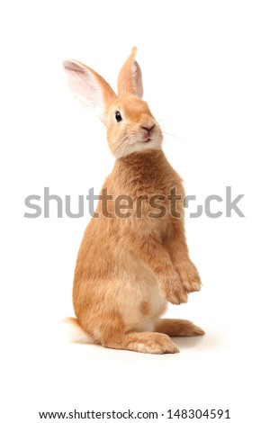 Orange rabbit on white background  - stock photo