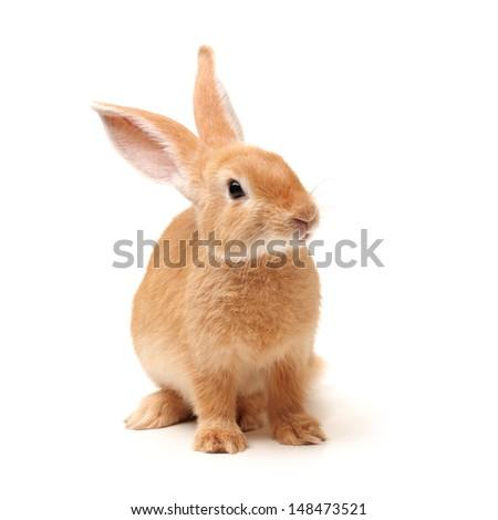 orange rabbit on white background  - stock photo