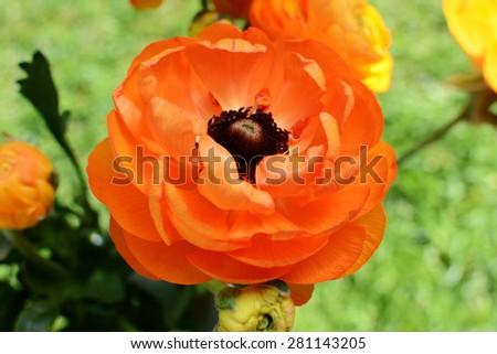 Orange ranunculus bloom against a green background - stock photo