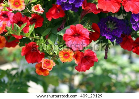 Orange, red,and yellow petunias with blurred background and copy space.