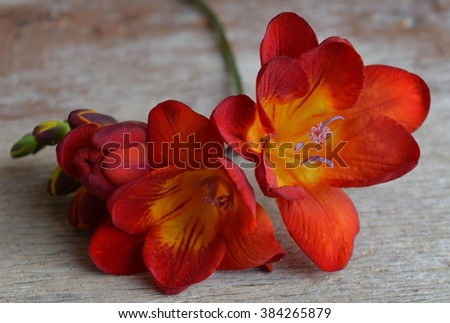 Orange / Red Freesia Flowers laying on rustic wooden background
