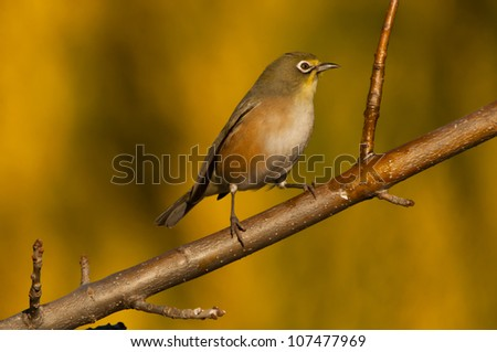 Orange River White-eye Bird  ~ South Africa - stock photo