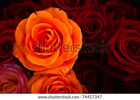 Orange rose againt red roses background - stock photo