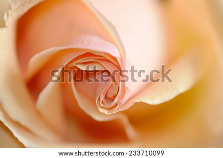 Orange Rose Background - stock photo