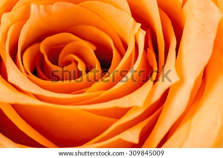 Orange rose flower. - stock photo
