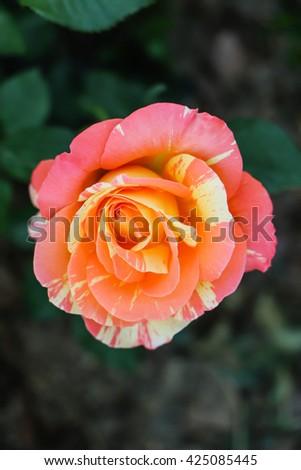 Orange rose in the garden,gentle caressing rose flower under spring sun . decoration , floral , wedding - stock photo