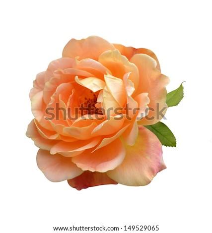 orange rose isolated on white background - stock photo