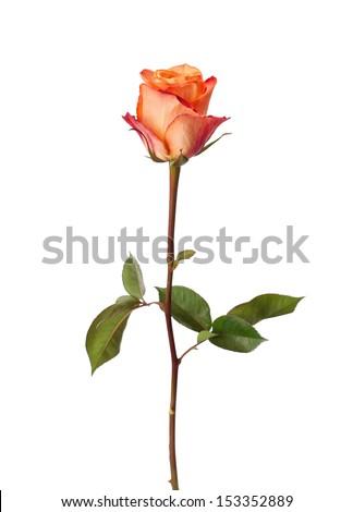 Orange rose isolated on white background. - stock photo