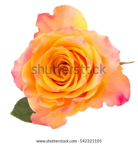 Orange rose  isolated on white background cutout - stock photo