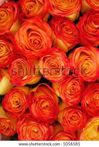 Orange Roses - stock photo