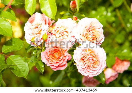 orange roses,spring flowers,flowers garden,roses,pink roses,roses garden,wonderful roses,amazing nature,natural flowers,natural roses,orange roses,yellow rose,garden roses,wonderful gardens,pink roses - stock photo