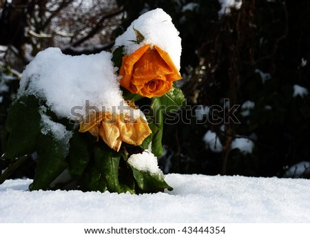 Orange roses trying to carry the burden of fresh fallen snow - stock photo