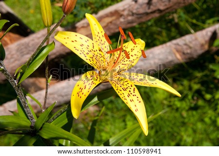 orange royal lily - stock photo