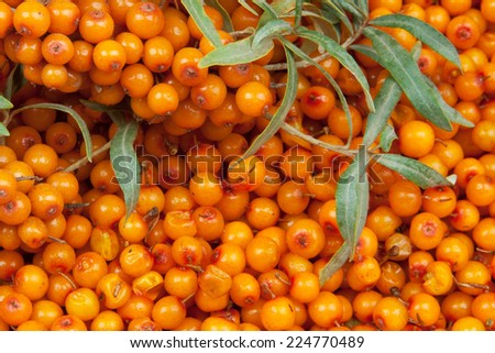 orange  sea-buckthorn with green twig - stock photo