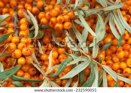 orange  sea-buckthorn with green twig - stock photo