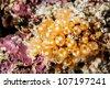 orange sea squirt - stock photo