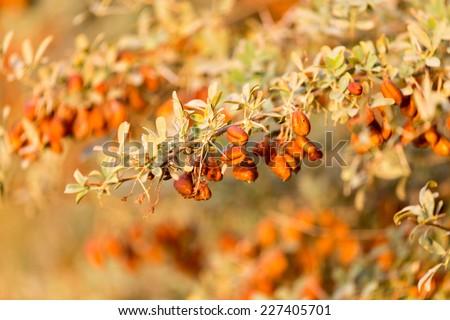 orange seeds on the bush - stock photo