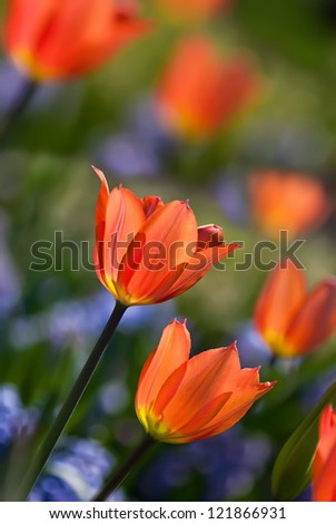 Orange spring tulips in bloom with blue hyacinth flowers on the background - stock photo