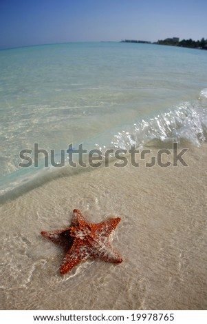 Orange starfish in the water on a tropical beach