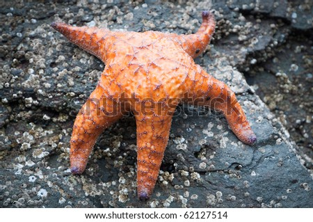 Orange starfish on a rock at low tide - stock photo