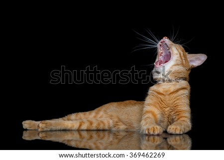 orange striped cat crouch and yawning isolated on black background with copy space - stock photo