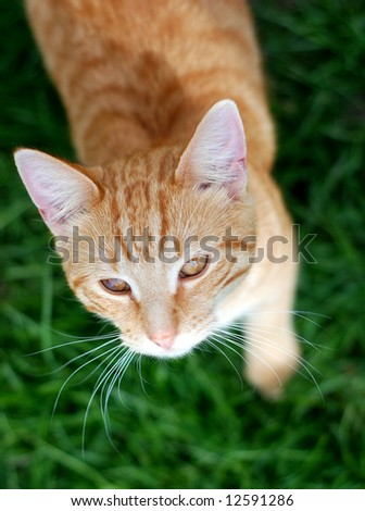 Orange striped tabby kitten looking up from a lush green lawn