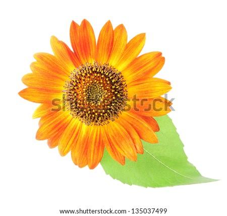 orange sun flower with leaf isolated on white background - stock photo