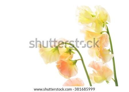 Orange sweet pea isolated on white background - stock photo