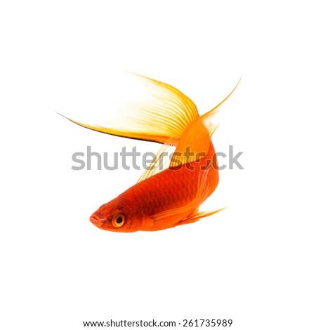 Orange Sword-tail Fish Isolated on White Background - stock photo