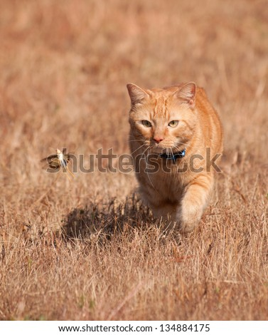 Orange tabby cat hunting a grasshopper in flight, on dry autumn grass background - stock photo